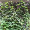 「まつこの庭」のグリーンカーテン(3)