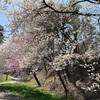 国営アルプスあづみの公園の桜とチューリップ2019