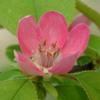 カリンの花が咲く季節。