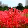 【東京都 浜松町】秋をゆったりと楽しむ庭園散歩。彼岸花が綺麗だったよ。