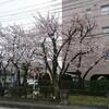 通勤路の桜…