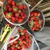 イチゴ、採りきれません!!