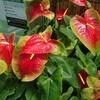 新宿御苑で見た植物⑦ 大紅団扇(オオベニウチワ)