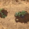 野菜づくり二年生 11 〜わき芽のトマト&えだまめといんげんの花