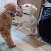 犬の幼稚園通学9日目10日目・要求吠えの始まりとやめさせるためのしつけ