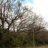 幹上のアカボシゴマダラの越冬幼虫