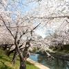 第5歩:桜の木
