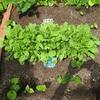 【家庭菜園】チンゲンサイの間引きをしました(2回目)