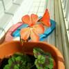 挿し芽のゼラニウムの開花