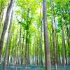 ベルギー・ブリュッセル郊外: ブルーベルが綺麗な『ハルの森』