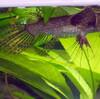 バタフライフィッシュ(パントドン)の飼育法(餌・大きさ・水温・寿命・など)
