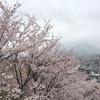 今年の桜!