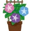 今年もアサガオの種をまきました。アサガオは奥の深い花です!