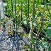 トマトと万願寺唐辛子の苗を植えました
