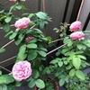 2度目の薔薇が咲きました