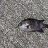 釣行:大阪南部 深日漁港 北側