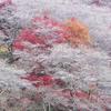 小原の山里を彩る四季桜と紅葉