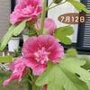 「タチアオイ」はじめて育ててみて感動、発芽から種が採れるまで。