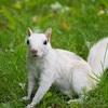 【白いリス】モントリオールの公園で珍しいリスに遭遇【カナダのトウブハイイロリス】アルビノとは違う?