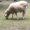 羊さん( ˙-˙ )