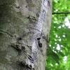 ブナの樹幹流。