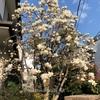 白木蓮の花が咲いて本格的な春の訪れを感じました