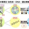 遺伝用語を身近なモノで例えるとこうなる 【第8回】染色体・DNA・遺伝子