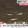 【地震前兆】静岡市の庵原川ではアユやオイカワなど約800匹が大量死!静岡県では9月17日~20日の4日連続でクジラが謎の打ち上げ!『南海トラフ地震』などの巨大地震の前兆なの?