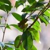 【野鳥】幸せを呼ぶ青い鳥@町田薬師池公園