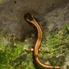 ハコネサンショウウオ Onychodactylus japonicus