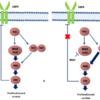 BRAF阻害剤:ベムラフェニブ、ダブラフェニブ、エンコラフェニブ