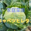 家庭菜園のメリット:キャベツとレタスを植えました!