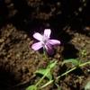 名前の不明なナデシコ科の小さな花。