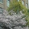 東京虎ノ門『文化庁の桜』