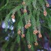 効果のあるスギ花粉症対策は、沖縄・奄美・九州南部・北海道へ避難移住