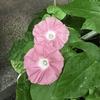 4-90   愛すべき花たち〜令和最初の朝顔の花〜