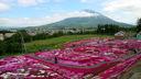 羊蹄山を背景に。三島さんちの芝ざくら庭園を観に行ってきたよ。
