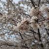【散策】桜を見に東京都大田区多摩川沿いを歩く