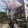 仙台晩翠草堂桜と天地有情