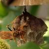 アシナガバチの巣が!
