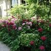 ミモザ・ガーデンの日記ーアジサイの季節