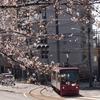 虹の彼方へおじ散歩 ~ 王子の桜は様々な輝きを見せてくれました ~
