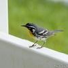 ベリーズ 自宅庭で餌を探す Yellow-throated Warbler (イエロースローテッド ワーブラー)