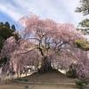 2017年4.12 麻績神社の「舞台桜」が満開になりました。