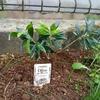 小さなオリーブの木を植えてみた☆