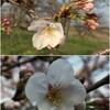 桜とユキヤナギが咲きはじめました。あとは作業所の整理