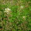 ナズナの白い花