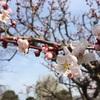 松本城散歩、梅の花が見頃です🌸