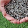 ヒマワリの種の栄養価・効果・食べ方まとめ