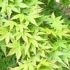 煌めく新緑と茶入飾りのお稽古